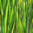 Sunlit bullrush leaves - Stock Photo