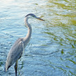 Blue Heron standing in river currents — Stock Photo