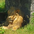 Male lion resting in the shade — Foto de Stock