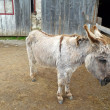 Stock Photo: Donkey in barnyard