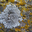 Macro gray and yellow lichen — Stock Photo