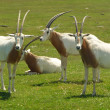 Stock Photo: Scimitar-horned oryx