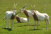 Scimitar-horned oryx — Stock Photo
