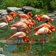 Flamingos in green tinted water - Stock Photo