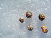 Five snail shells on ice background — Stock Photo