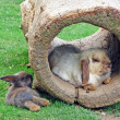 Two rabbits and a hollow log - Stock Photo