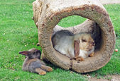 Two rabbits and a hollow log — Stok fotoğraf