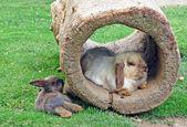 两只兔子和一个空心的日志 — 图库照片