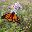 Monarch butterfly on autumn wildflower — Stock Photo