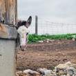 Donkey peering around barn corner - Stock Photo
