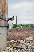 Donkey peering around barn corner — Foto de Stock