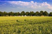 如诗如画的风景与小麦 — 图库照片