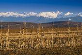 Mountain range snow peaks harvested land — Stock Photo