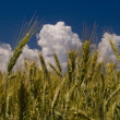 Golden wheat crop — Foto de Stock