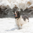 Spaniel in surf — Stock Photo
