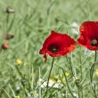 Stock Photo: Poppies in field
