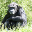 Chimpanzee in long grass — Stock Photo
