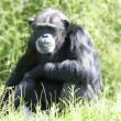 Chimpanzee in long grass - Stock Photo