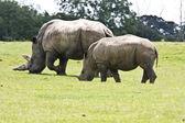 Asian white rhino — Stock Photo