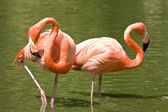 Two flamingos — Stock Photo