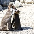 Mum and baby penguin - Stock Photo