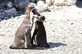 Moeder en baby pinguïn — Stockfoto