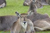 Roan antilope — Stockfoto