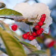 Snowy holly with blue sky - Stock Photo