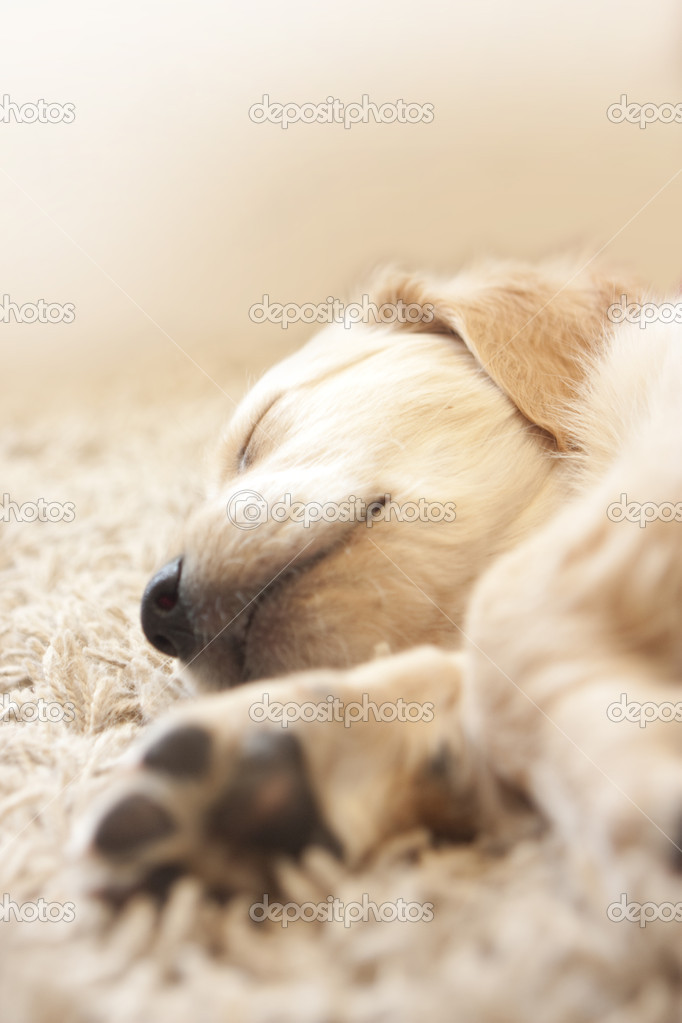Cute Golden retriever puppy 6 weeks old asleep — Stock Photo #2010084