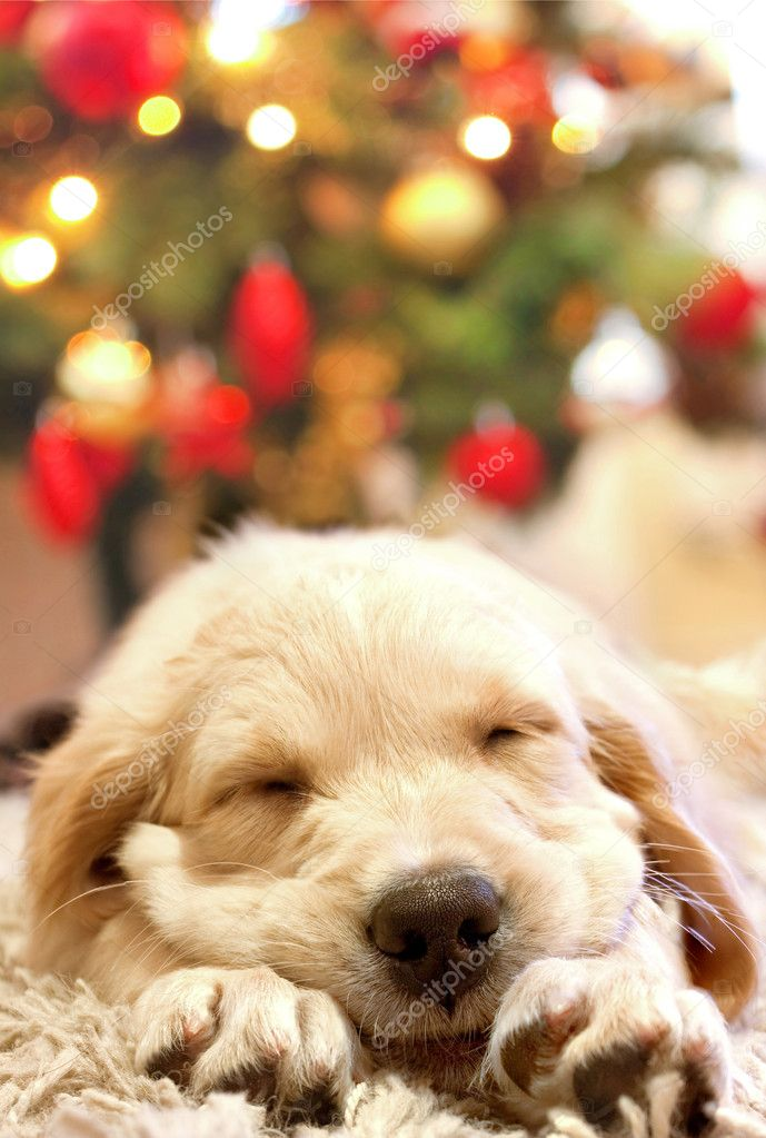Puppy golden retriever asleep in front of a christmas tree — Stock Photo #2012078