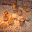 Baby chicks — Stock Photo #2025039