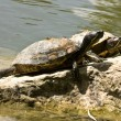 Turtles on rock - Stock Photo