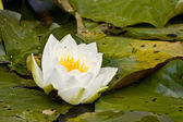 White pond lily — Stock Photo