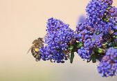 Bee on collecting pollen — Stock Photo