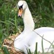 Swan on nest - Stock Photo