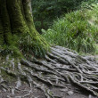 Tree roots in forest — Stock Photo #2298695