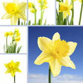 Daffodil collection — Stock Photo