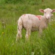 Stock Photo: Lamb in meadow