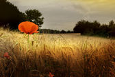 Red poppy in prairie — Stock Photo