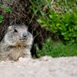 Stock Photo: Alpine baby marmot