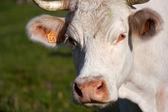 白母牛在草原上 — 图库照片