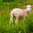Stock Photo: Lamb in a meadow