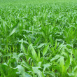 Green cornfield — Stock Photo
