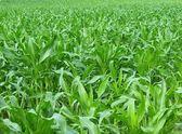 Green cornfield — Stock Photo