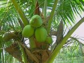 Coconut on the palm tree — Stock Photo