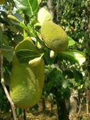 Young jackfruit — Stock Photo