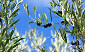 Olives on branch. — Stock Photo