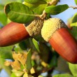Two acorns on branch. — Stock Photo
