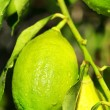 Lemon tree. — Stock Photo