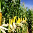Yellow corn. - Stockfoto